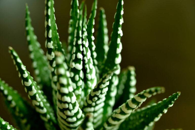 Conoce las mejores plantas suculentas dentro de la casa